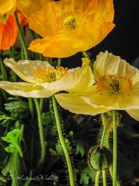 orange and white icelandic poppies