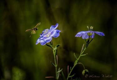 Hoverfly approaching blue flax flower