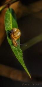 Snail half way down leaf