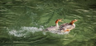 Mergansers in the water squabbling over a morsel