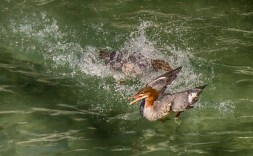 Merganser in water in full out chase