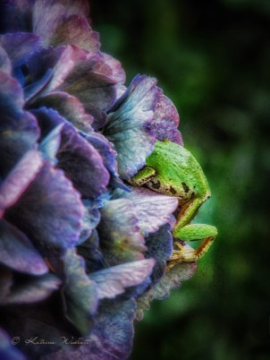 green tree frog climbing into purple hydrangea bract