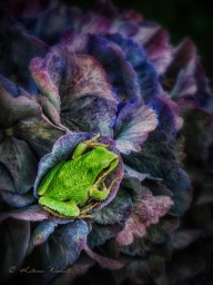 green tree frog sitting in purple hydrangea bract