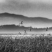Snow Geese in flight & Monochrome Madness Week 37 -- 6 images