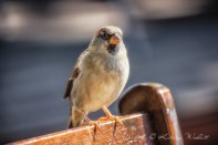 house sparrow on chair back