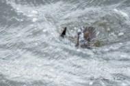 female surf scoter diving