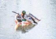 2 mallards fighting on iced-over pond