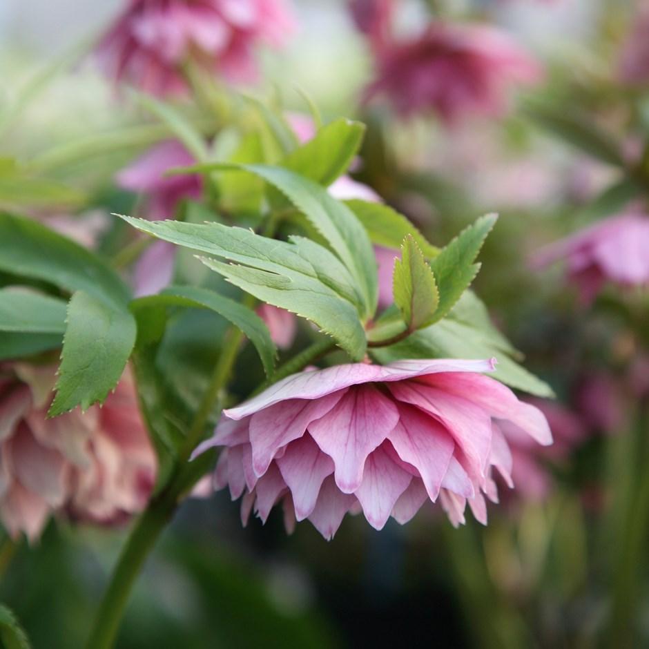 pink hellebore plant