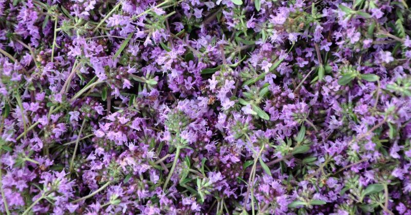 wild thyme flowers - background image