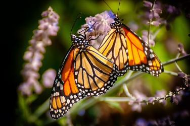 2 monarchs on flower