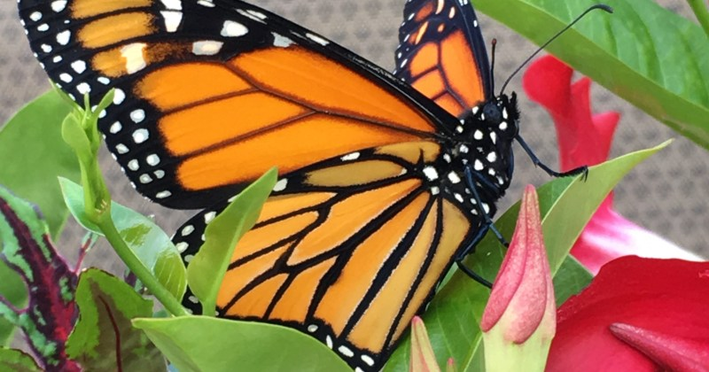 side view of monarch butterfly on flower