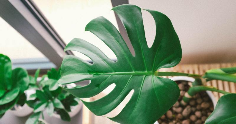 top down close up of houseplant leaf