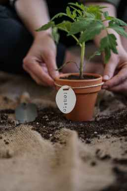 hands putting tag on potted tomato plant