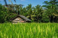 fermer dans les rizieres a bali