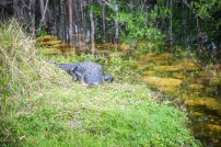 Crocodile aux Everglades