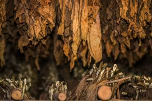 feuilles de tabac pour les cigares a cuba
