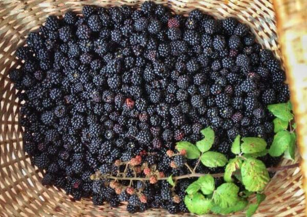 Blackberries Tuscany MTIT