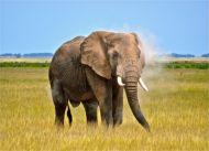 Amboseli Elephant, Kenya...