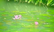 Lotus in the city ...Ho Chi Minh, Vietnam...