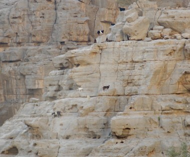 Goats at home on Qadah cliff..
