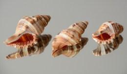 Cymatium (Septa) rubeculum rubeculum.Found in North-West Gulf and Masirah island.Up to 40mm.