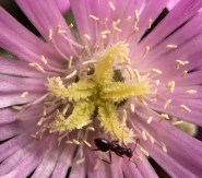Ant in the stamens....