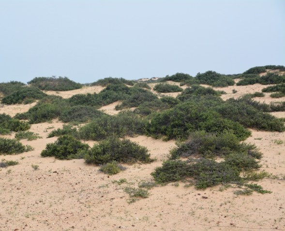 Closer to the coast, more greenery growing through the dunes....