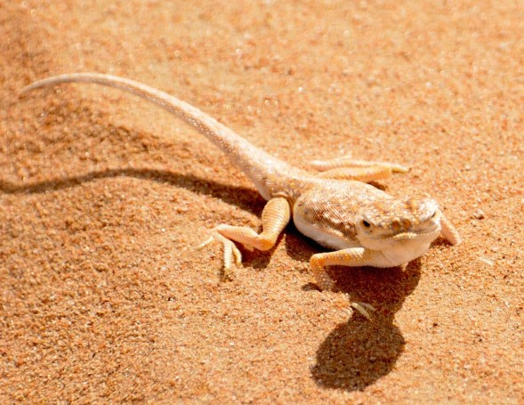One of the sand lizards whose home is in the vast desert...
