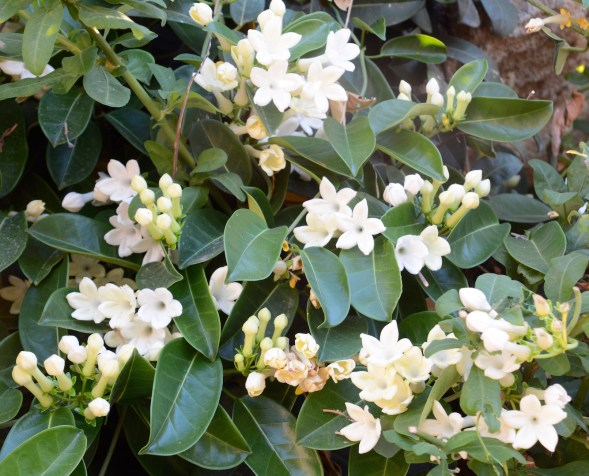 The Stephanotis look healthy this year....