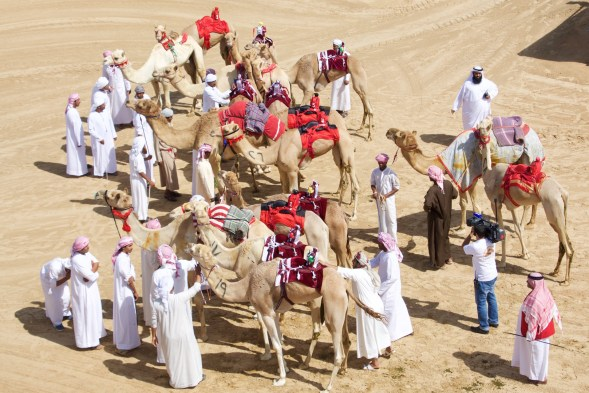 Preparing the camels for racing at Lisali camel track, Dubai....
