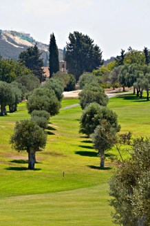 Olive trees in line....