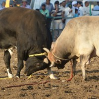 Bull-butting in Fujairah....