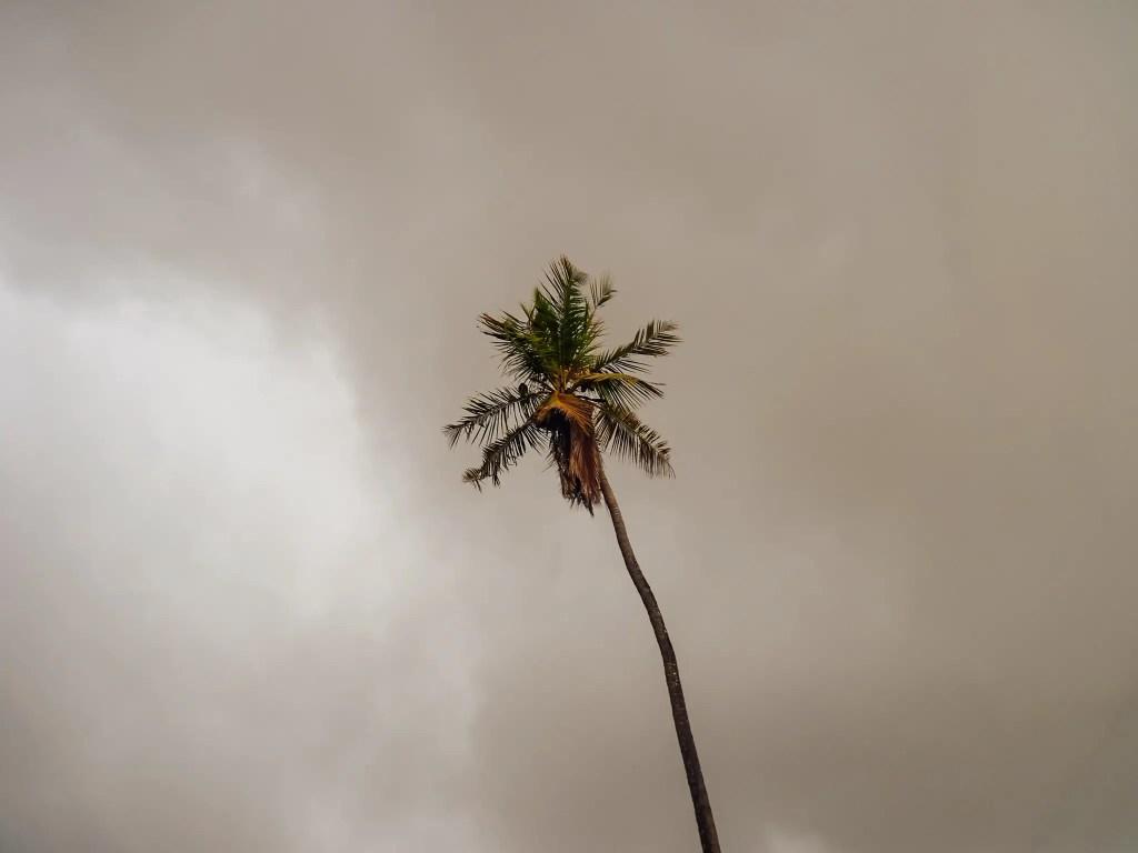 palmier brésil