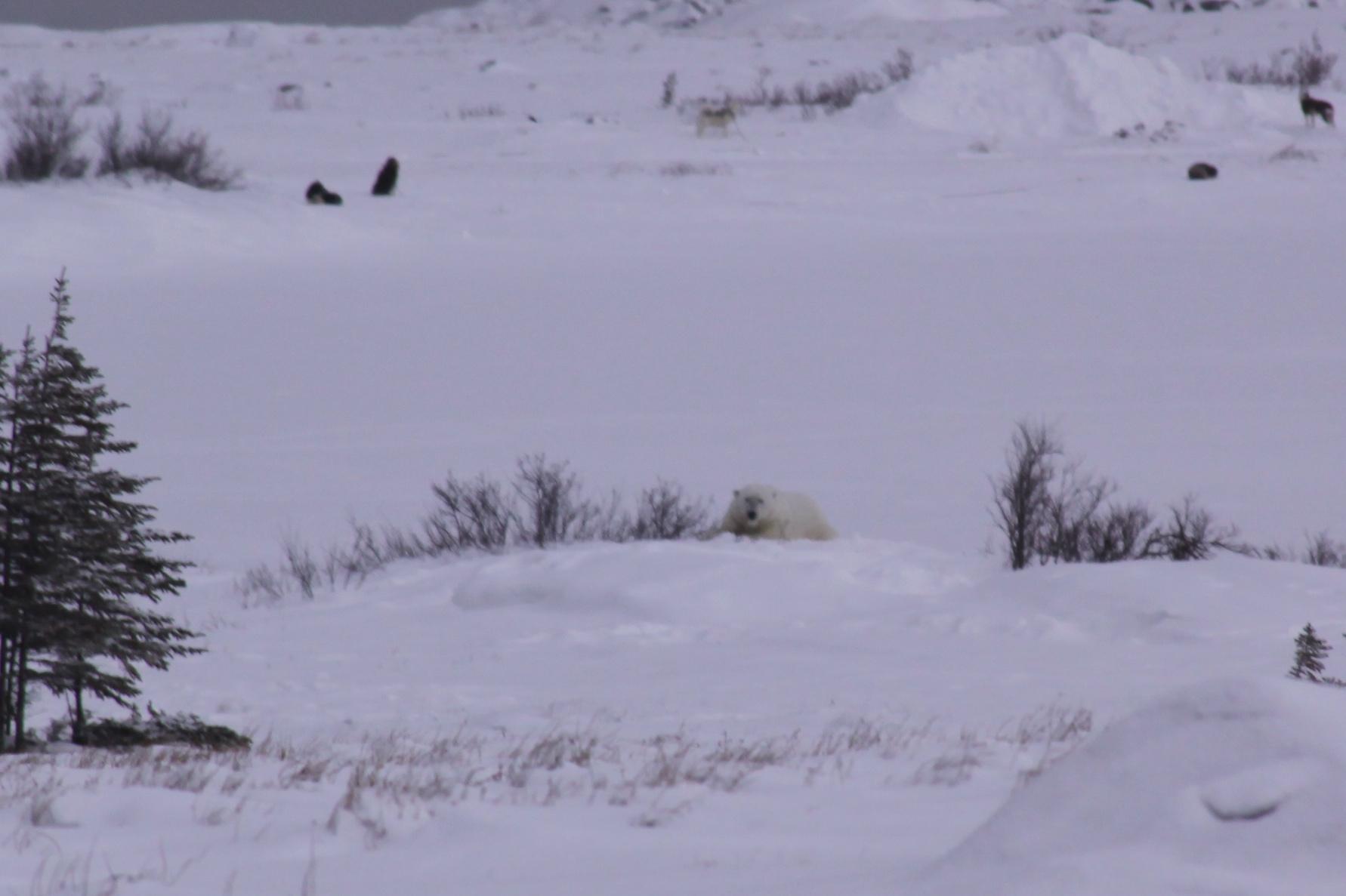 Polar bear looking at right at me
