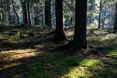 Vackert ljus i skogen.