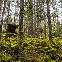 I en av världens få äkta skogar