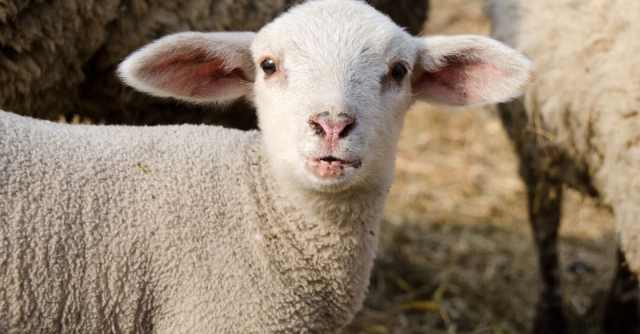 Where to see lambing in Kent and East Sussex?