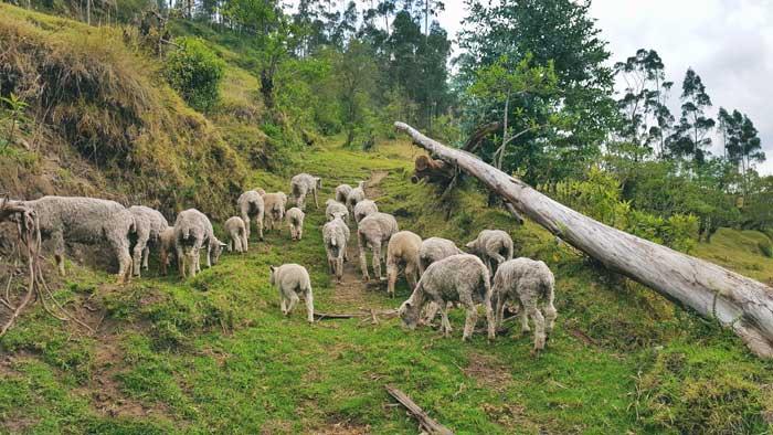 sheeps-on-the-trek