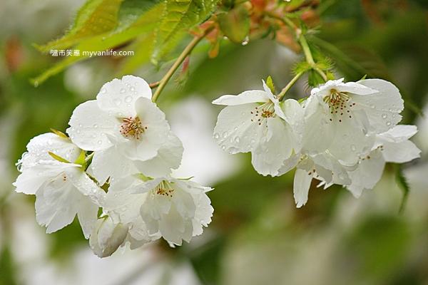 加拿大旅遊 溫哥華旅遊 溫哥華賞櫻 白妙櫻 Vancouver Cherry Blossom Shirotae