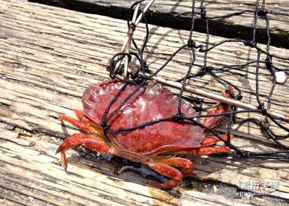 溫哥華旅遊 蟹肥秋意濃,溫哥華捕蟹正是時候