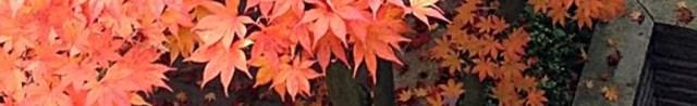 加拿大楓紅,