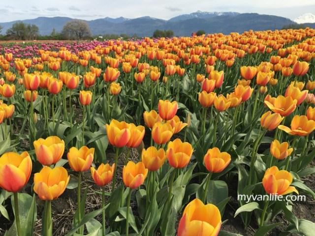 flowerRIMG_6634Abbostfordtulip