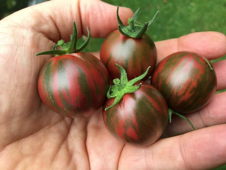 Black Vernissage Tomato Image