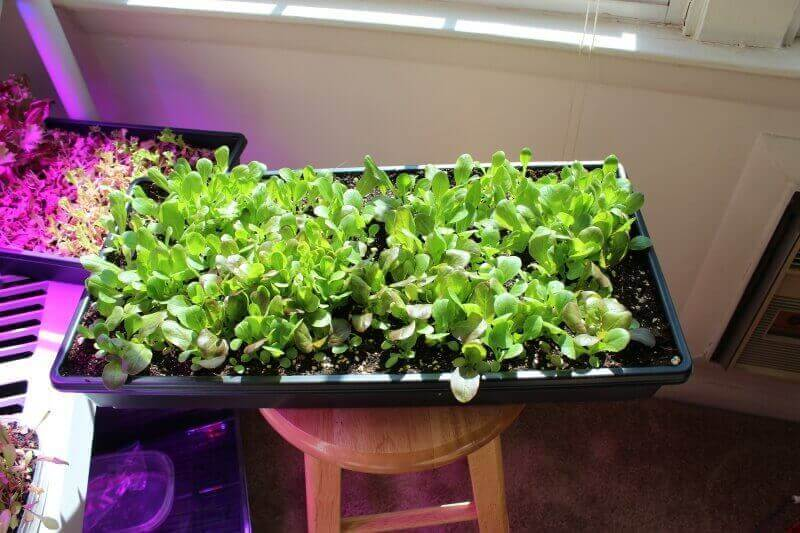 growing lettuce indoors 15-days
