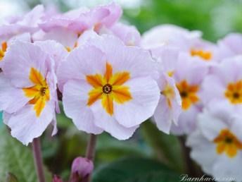 Polyanthus Flower