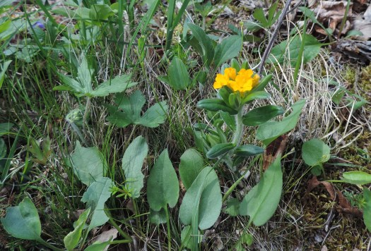 and this Orange Puccoon