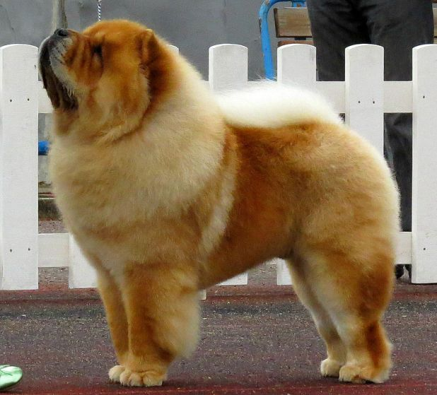 The Chow is a unique breed of dog thought to be one of the oldest recognizable breeds.