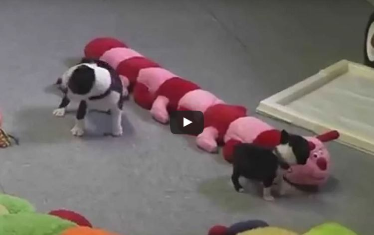 Breeders: Boston Terrier