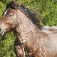 Breeders: Ardennes Horse