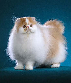 Breeders: Persian Cat